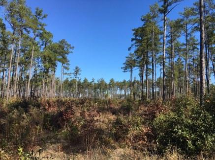 View looking down a corridor at the Savannah River Site habitat corridor experiment in South Carolina